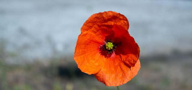 In Flanders fields the poppies blowBetween the crosses, row on row,    That mark our place; and in the sky    The larks, still bravely singing, flyScarce heard amid the guns below. We are […]